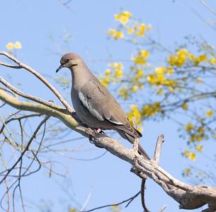 White-winged DoveTucson Arizona 2021 04 29-217.CR3