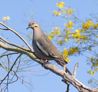 White-winged DoveTucson Arizona 2021 04 29-218.CR3