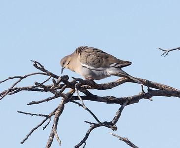 White-winged DoveTucson Arizona 2021 04 29-216.CR3