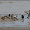 Pijlstaart/Northern Pintail