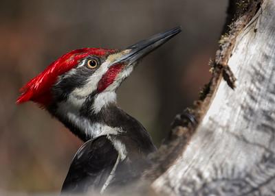 MARCH | Pileated Woodpecker, Near Finland