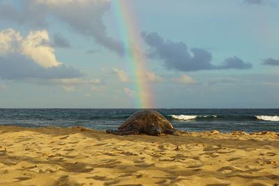 poipu beach turtle