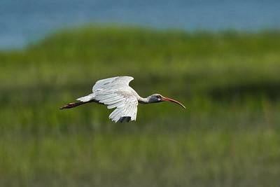 White Ibis I