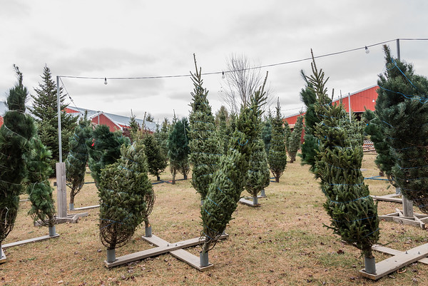 Selecting a pre-cut Christmas Tree