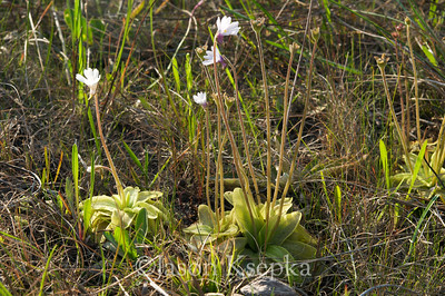 Pinguicula ionantha, Godfrey's Butterwort; Liberty County, Florida 2009-04-11 10