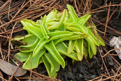 Pinguicula ionantha, Godfrey's butterwort; Liberty County, Florida 12-26-2019 (1)