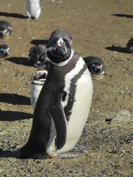 Pinguinos 2011