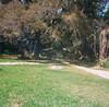 Confederate Oak