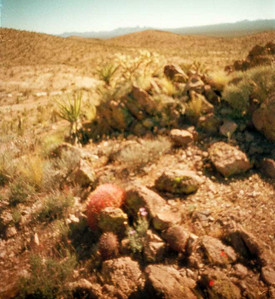 Standard pinhole image of some Mojave Desert flora.  Note the Mojave Asters between the red barrel and the smaller Echinomastus cactus.