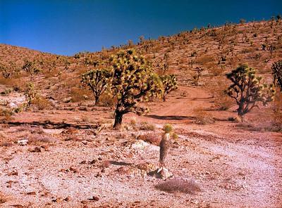 Yucca brevifolia (Joshua Tree) - Shot with a 80f4 (normal) lens on a Mamiya 645 Pro.
