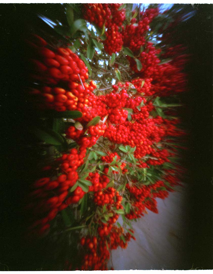 Single shot of pyrocantha.