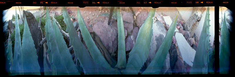 Agave Weberii shot from the top looking down into the plant.  This is the recorded image.