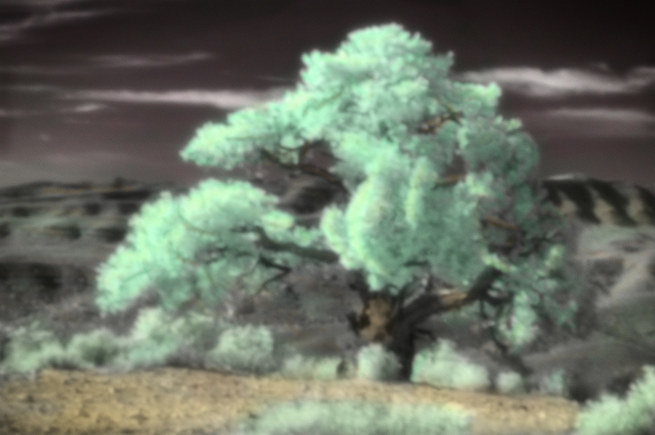 """""""Lovell Canyon Juniper""""  Lovell Canyon is an hour's drive west of Las Vegas, NV.  A Nikon D300, modified for dark infrared sensitivity, was used to capture this image through a body cap pinhole.  """"Hand"""" coloring was added with Photoshop."""