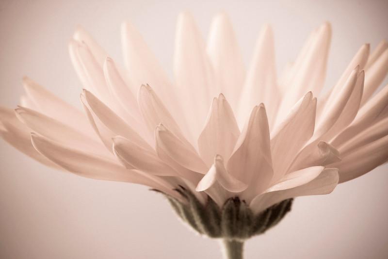 Silver-Pink Marigold