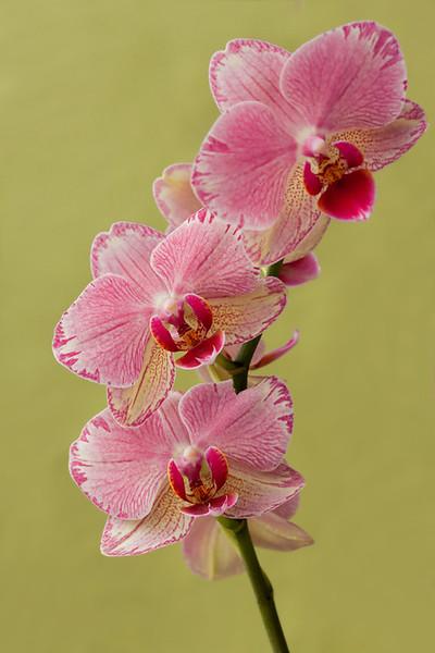 Moth Orchid 4