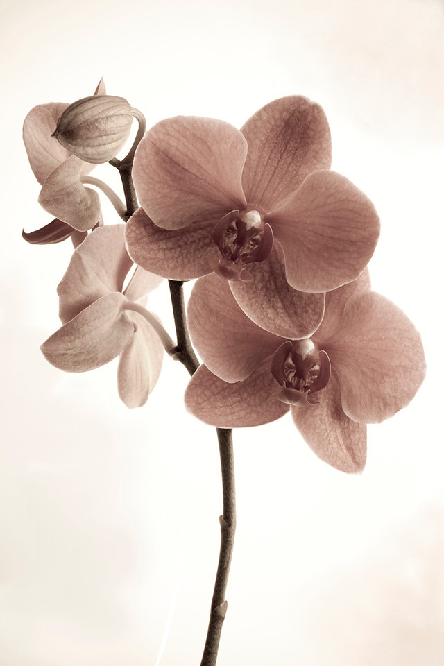 Silver-Pink Orchid 2