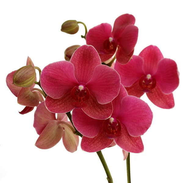 Lipperose