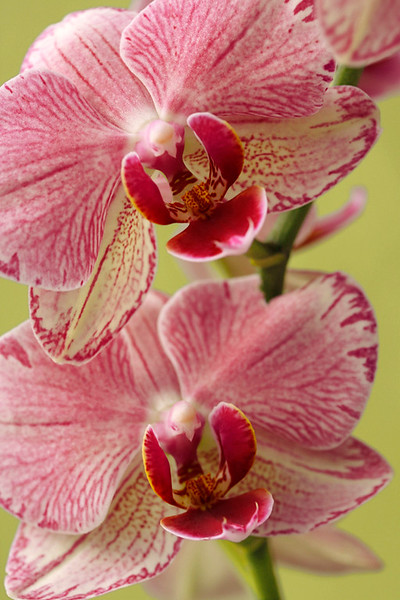 Moth Orchid 2