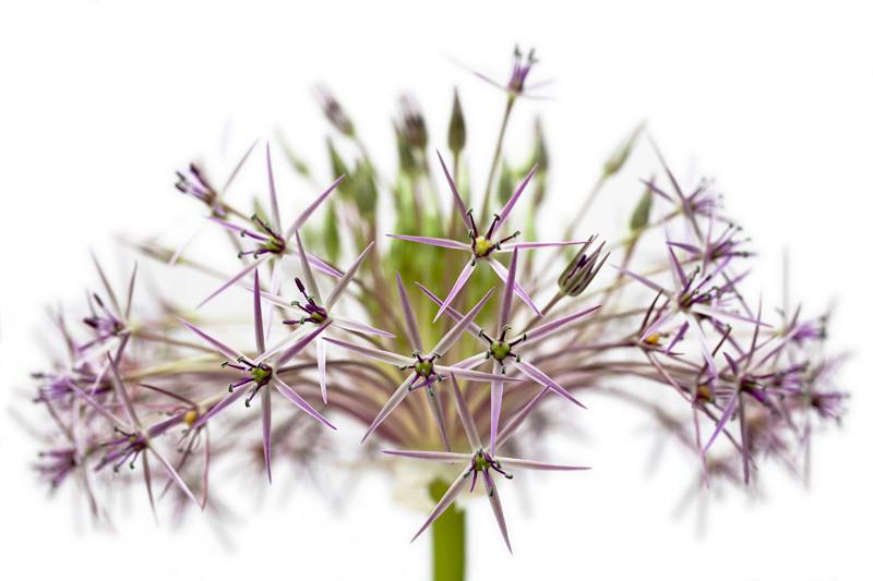 Allium 9