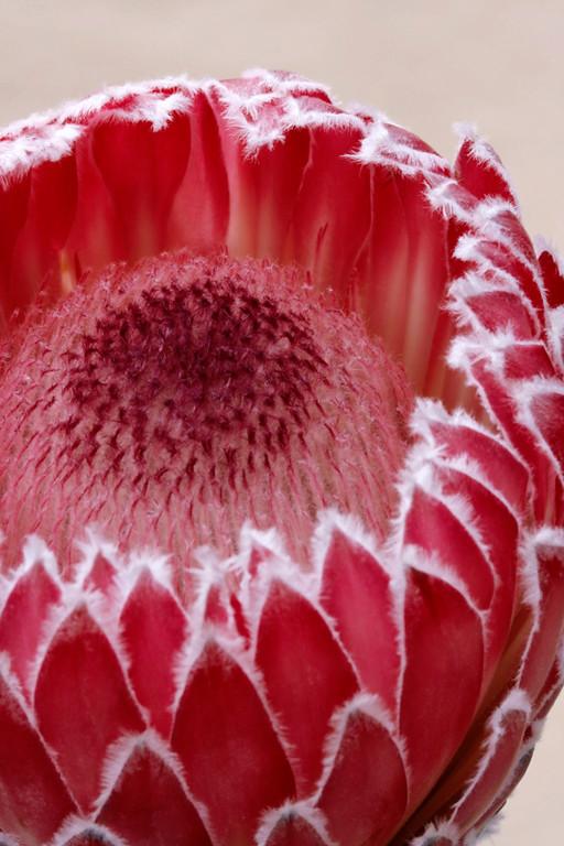 Protea 6