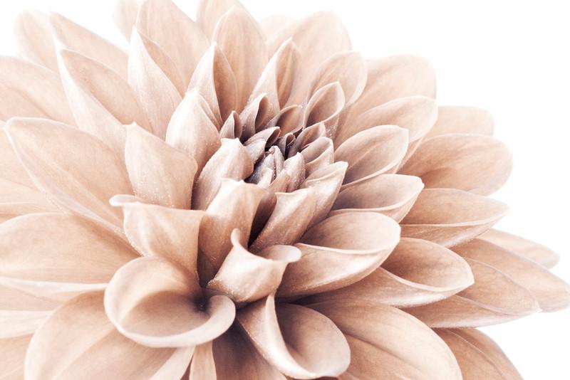 Silver-Pink Dahlia