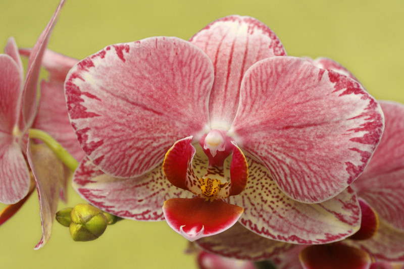 Moth Orchid 3