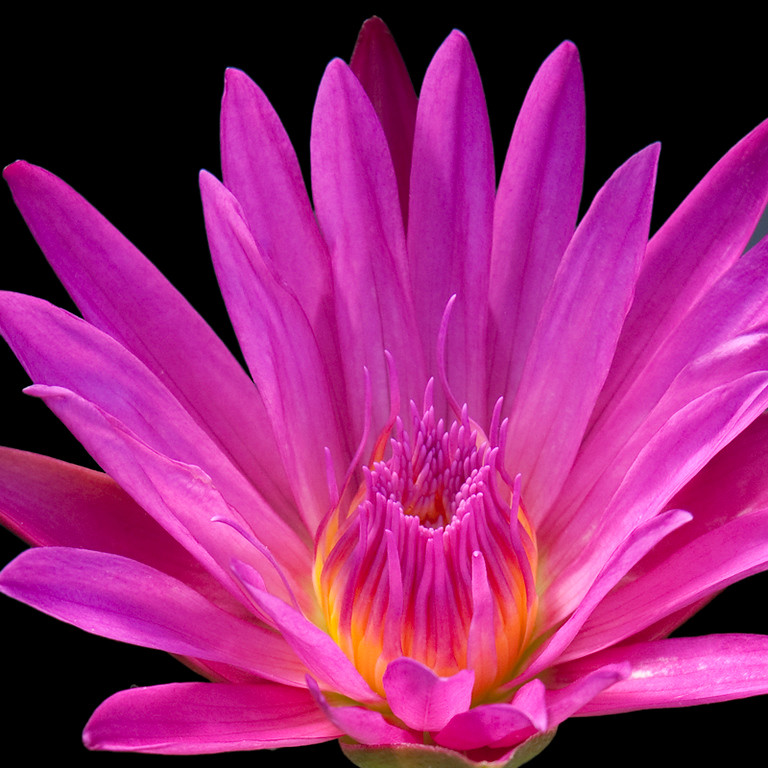 Cerise Waterlily
