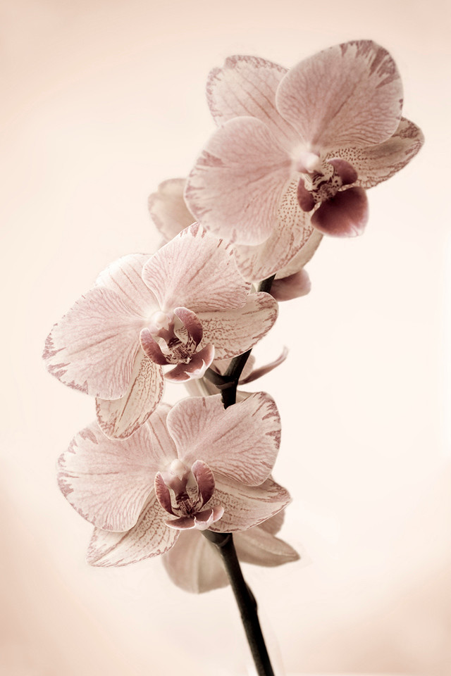 Silver-Pink Orchid 1