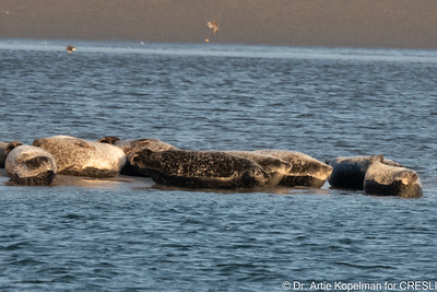 Some of the 171 seals (170 harbor seals and 1 gray seal) hauled out on 1/6/2021 at ~7:50 AM