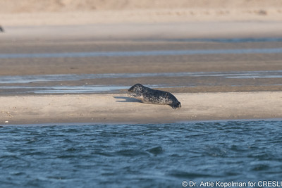 Atlantic gray seal pup on the move