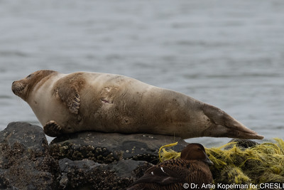 Young molting female harbor seal