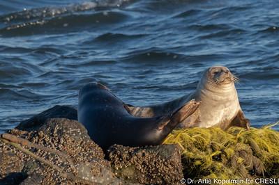 """Young Atlantic harbor seals hauled-out on rocks at Cupsogue. The dark seal on the left is new to our catalog (#214) and is named """"top-hat-turkey-right"""""""
