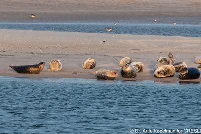 Some of the 167 seals (166  harbor seals and 1 gray seal) hauled out on 1/6/2021 at ~7:39 AM