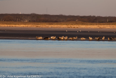Western end of haulout of 80 harbor seals just after sunrise