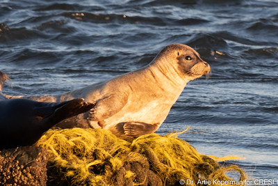 Young Atlantic harbor seals hauled-out on rocks at Cupsogue.