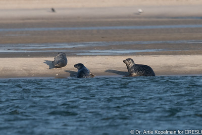 Now there are 3 Atlantic gray seal pups.