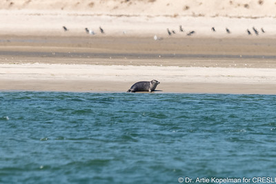 """Juvenile Atlantic harbor seal named """"t-bird-right"""" previously ID'd on 4/8/21"""