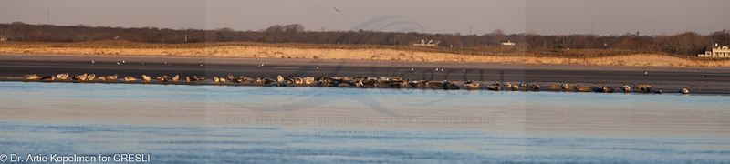 Haulout of 80 harbor seals just after sunrise