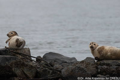 Young molting female harbor seals