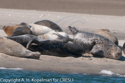 Harbor Seals at Cupsogue Beach  March 4, 2011