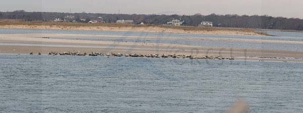90 harbor seals and 1 female grey seal at Cupsogue