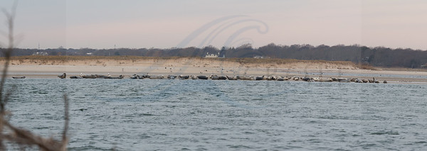 Early morning  0.75 hour after sunrise at Cupsogue. I grey seal and 83 harbor seals