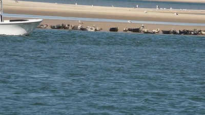 Seal harassment video . Vessel NY4491ML. 78 seals flushed. Video sent to NYSDEC Police & NOAA Fisheries Enforcement