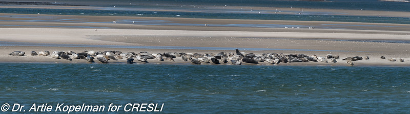 Panorama of 104 harbor seals hauled out