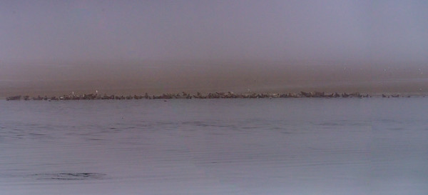 AHK_5041-Pano of 128 harbor seals in dense fog