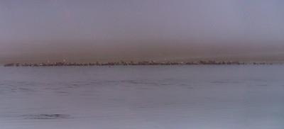 AHK_5041-Pano of 128 harbor seals in dense fog