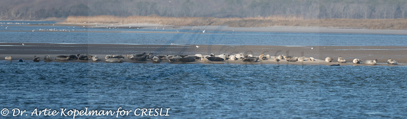 Panorama of 61 harbor seals on sandbar, 1/19/2020