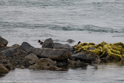 Harbor seal and American Ostercatchers