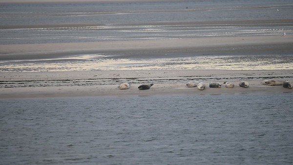 83 harbor seals hauled out on 12/10/2020