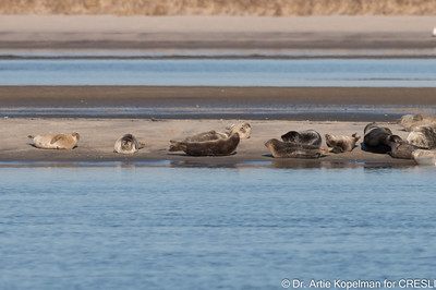 Some of the 126 Atlantic harbor seals hauled out